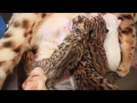 Kisangani Bengal Kittens  -  New Born Kittens Day One