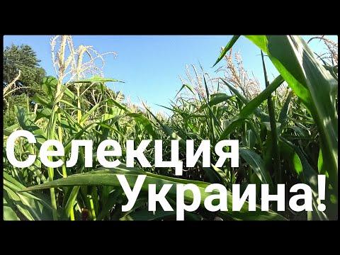 Выращиваем кукурузу в аномальном 2020г. Украинская селекция.