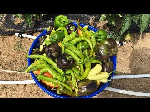 🌶🔥 Mid July Hot Pepper Harvest - No Dig / Vegan / Organic 🔥🌶
