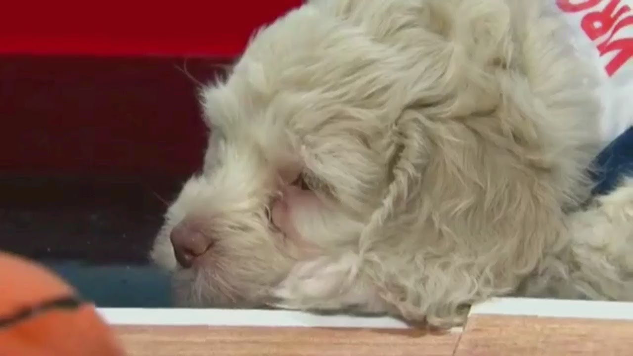 maxresdefault - National Puppy Day Brings Dribbling Dogs To WCCO