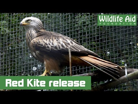 Red Kite back to the wild after a crash