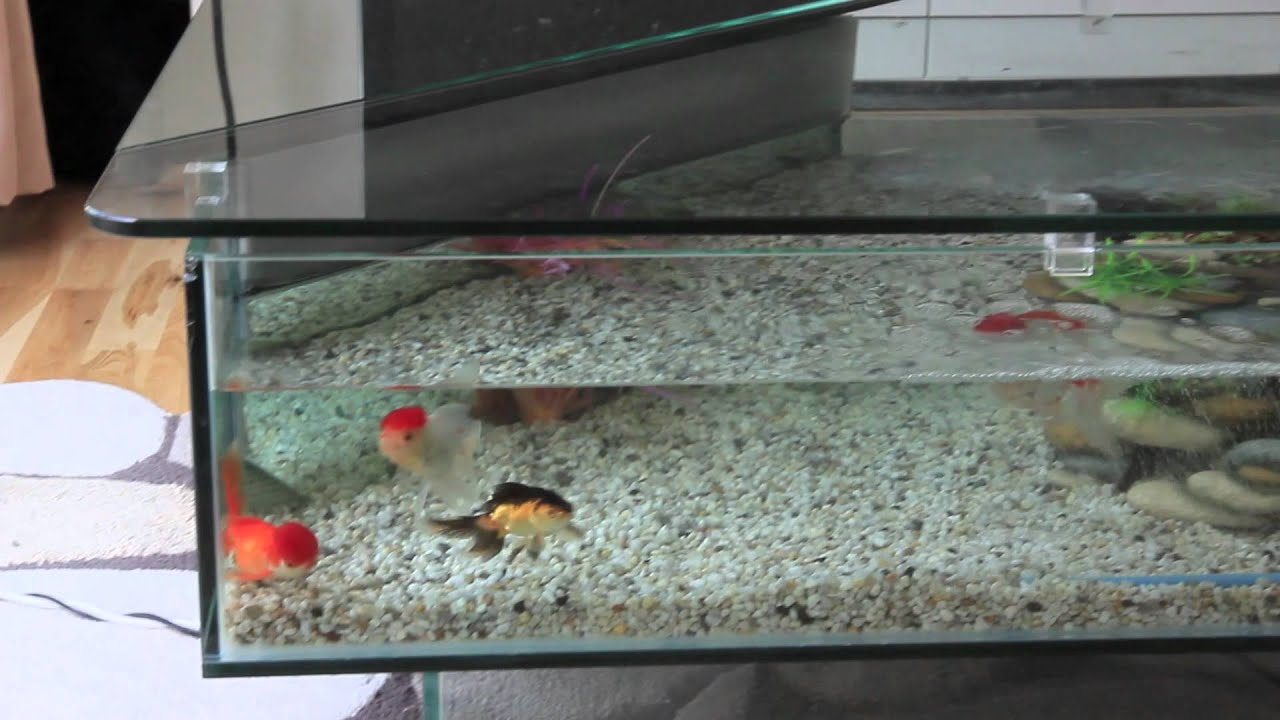 Fish tank living room table - Oranda And Fantail Fancy Goldfish In A Crystal Clear 18 Gallon Coffee Table Aquarium Fish Tank Youtube