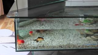 Oranda And Fantail Fancy Goldfish In A Crystal Clear 18 Gallon Coffee Table Aquarium Fish Tank