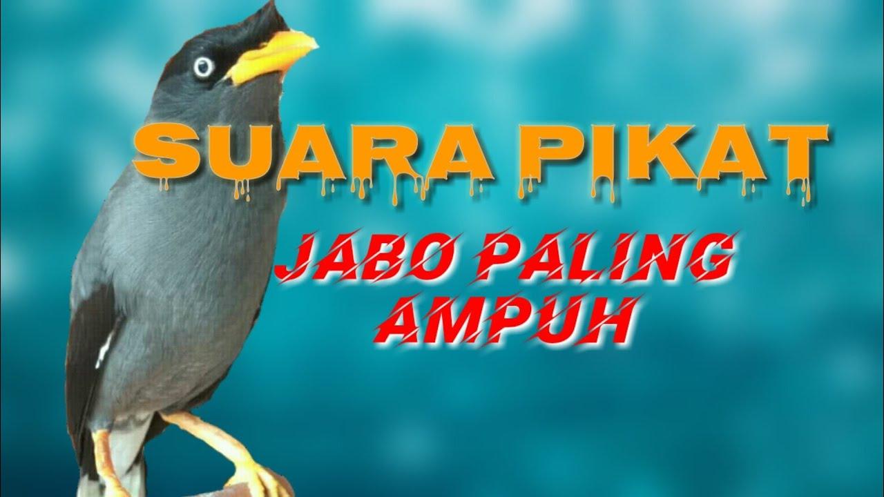 Pikat Ampuh Suara Pikat Burung Jalak Kebo Di Alam Liar Youtube