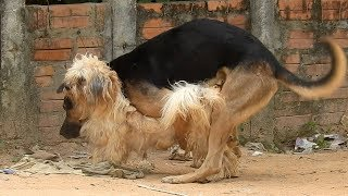 Great VillageDogs!!!!! Shepherd Meeting Dandie Dinmont Terrier In t...