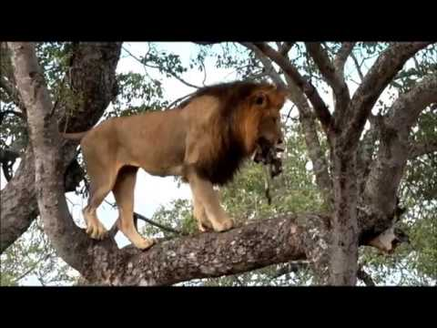 SafariLive Jan 26/27 - A tree-climbing male lion!  And a smart Leopard mom!
