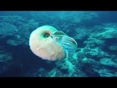 Searching for Rare Nautilus in the Bismarck Sea