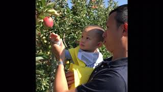 First time picking apple at Downesy's Farm