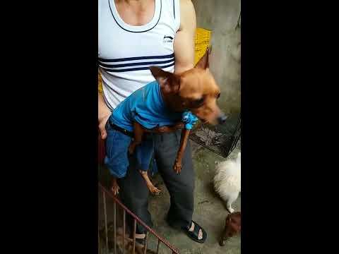 Chó Cảnh tại Trại Chó Hải Dương lh sdt chủ trại 01695 022 799