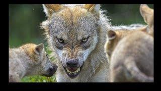 ВОЛК 10 самых ОПАСНЫХ ЖИВОТНЫХ, сбежавших с зоопарка