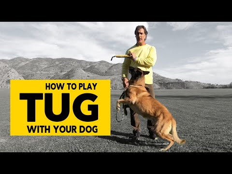 How to Play Tug with Your Dog  - Teach Your Dog Proper Tug of War - Robert Cabral Dog Training