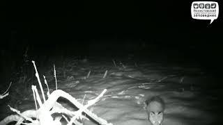 Любопытная лисица, Полистовский заповедник