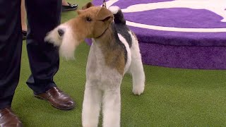 'Vinny' the Wire Fox Terrier wins the 2020 Westminster Dog Show terrier group