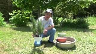 ローズマリーの植替え作業の様子です。 根が張り大株になってきたので、...