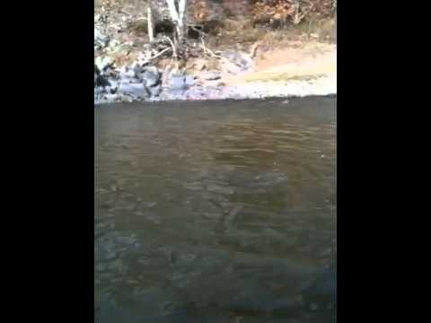 Monster rainbow trout fly fishing on kings river ca youtube for Kings river fishing