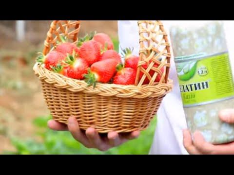 26 июн 2014. Http://vovantur. Com/fertilizer-for-strawberries/ сегодня расскажу об удобрении для клубники, которым пользуюсь на высоких грядках под.
