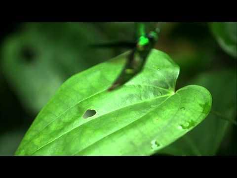 タマムシの飛翔 Jewel Beetle in flight 700fps
