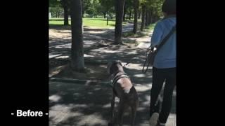ワイマラナー オス 散歩中の興奮が高く、引っ張り、飛びつき、他犬や鳥...