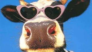 Vaches Prim'Holstein - Le laitier - Charmont s/B -10