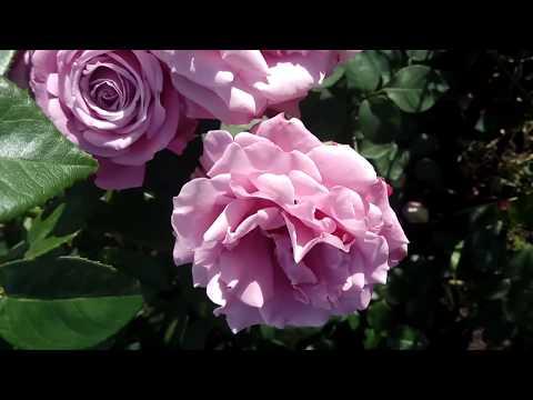 ФИОЛЕТОВЫЕ РОЗЫ🌹Кусты РОЗЫ цветут лиловые пурпурные сиреневые (Violet roses purple)