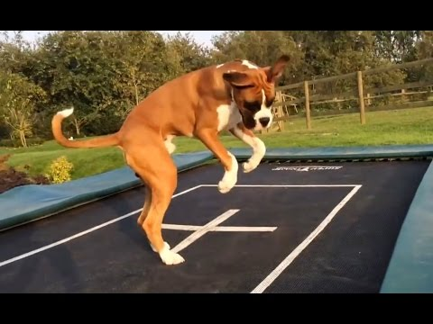 Dogs Love Trampolines Compilation