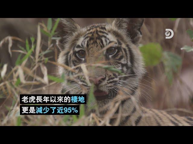 [2021世界地球日]老虎的困境