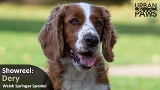 Dog Training: Dery (Welsh Springer spaniel)