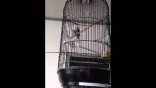 Burung lovebird violet perso ngekek