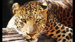 Reproducción del jaguar - Hogarmanía