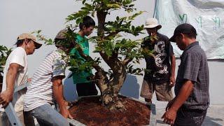 Xem lại vườn mai bonsai đẹp của phúc ngô sau 2 tháng