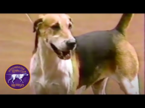 WKC Archives: English Foxhound, Winslow