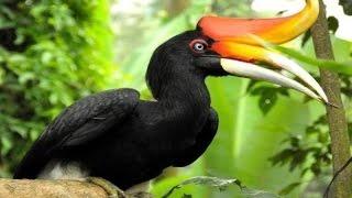 RHINOCEROS HORNBILL - Burung Enggang Kalimantan - RANGKONG BADAK [HD]