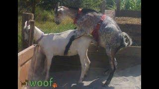 Фартук для козла / Contraceptive for goats)
