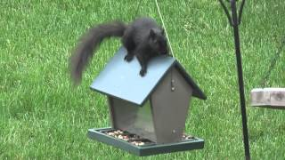 Squirrel Jumping on Bird Feeder