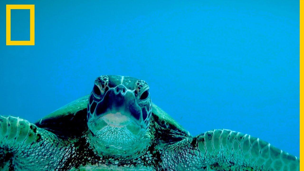 Tortugas marinas 101 | National Geographic en Español