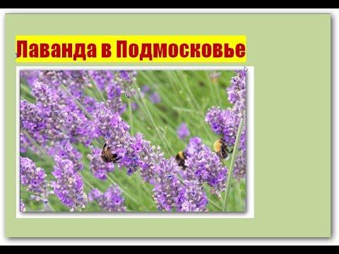 110_Лаванда в Подмосковье