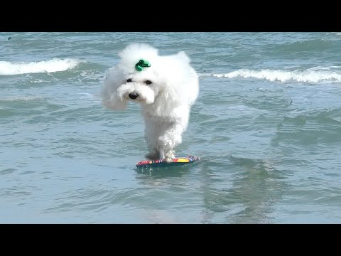 cute baby puppy rides surfboard for first time surfing dogs competition Beach song (dog version)2
