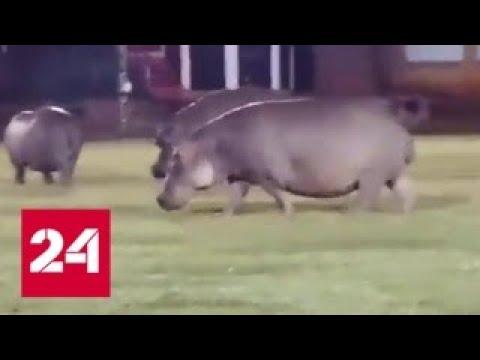 Бегемоты сорвали матч по регби в ЮАР - Россия 24
