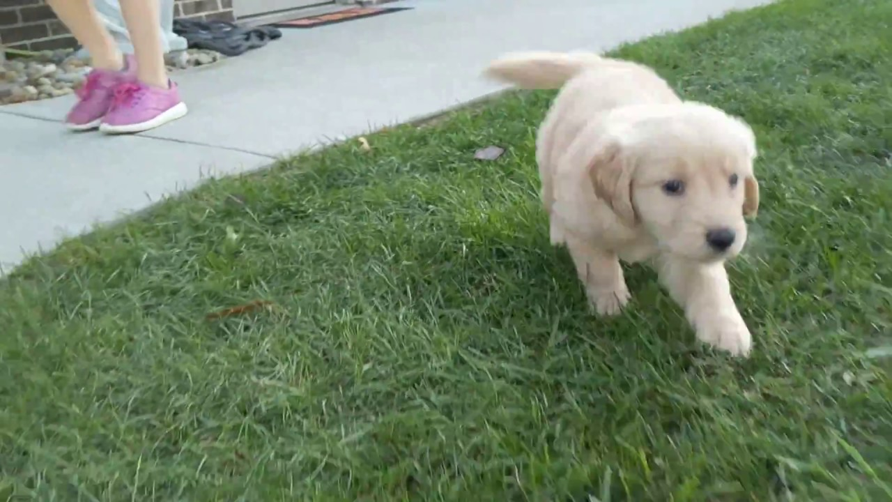 Libbie Red Golden Retriever Puppy For Sale In Ohio Youtube