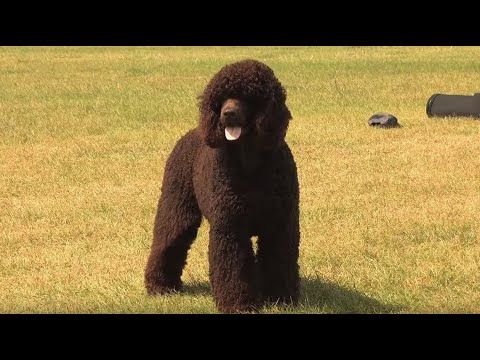 The Irish Water Spaniel - Bests of Breed