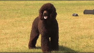 The Irish Water Spaniel  Bests of Breed