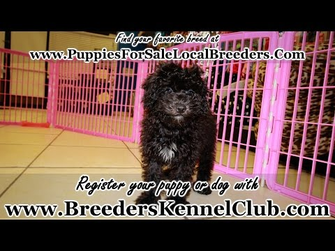 Miniature Poodle, Puppies, Dogs, For Sale, In Columbus, Macon, Georgia, GA, Athens, Augusta