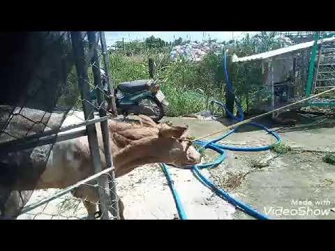giao con bò 3B và bắt bộ mẹ con LhDt 0378224523 nếu muốn mua quạt bán