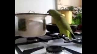 Смех-Прикольный попугай и кострюля!