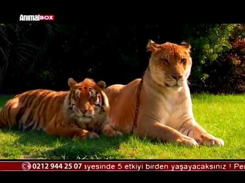 Dev Kedi; Aslan + Kaplan= Liger