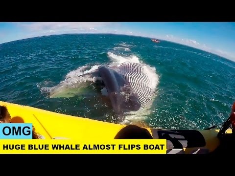 OMG. Huge Blue Whale Almost Flips Tourist Boat In Quebec.