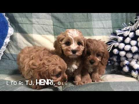 Red Cavapoo Puppies For Sale In NE Ohio