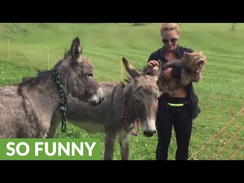 Angry Yorkie jealous of donkey's attention