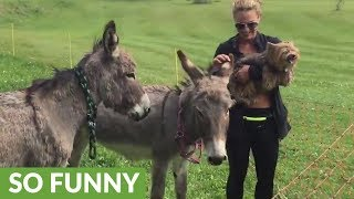 angry-yorkie-jealous-of-donkey-s-attention