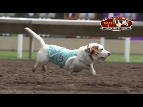 These Basset Hound Races Are Hilarious